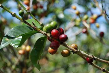 Coffee beans - fruit